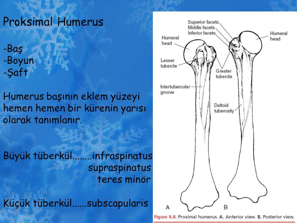 Proksimal Humerus -Baş -Boyun -Şaft Humerus başının eklem yüzeyi hemen hemen bir kürenin yarısı olarak tanımlanır. Büyük tüberkül........infraspinatus