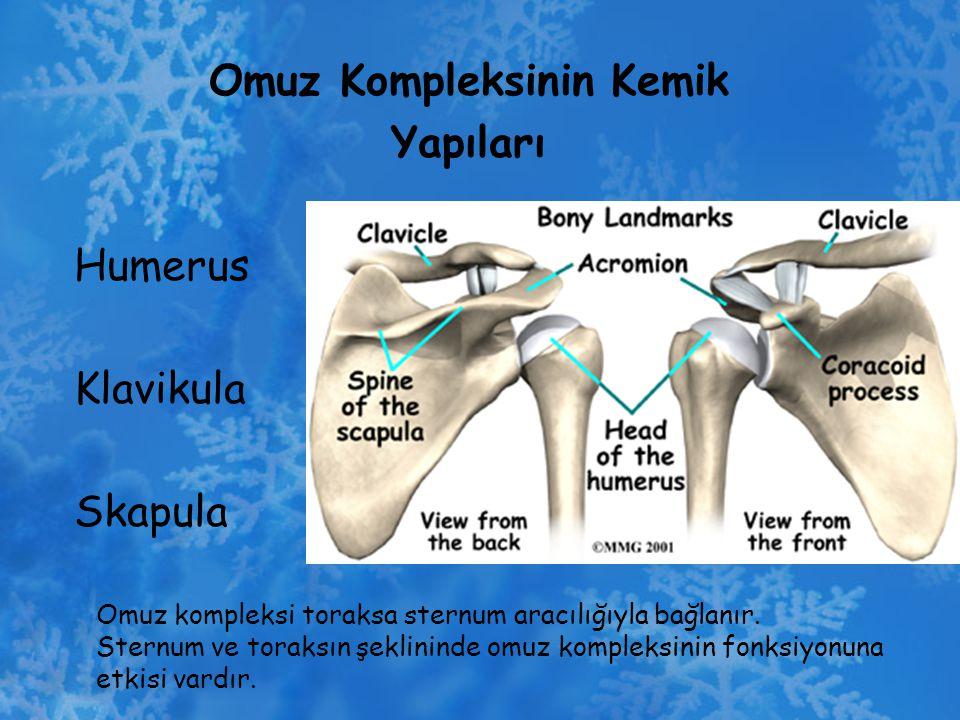 Omuz Kompleksinin Kemik Yapıları Humerus Klavikula Skapula Omuz kompleksi toraksa sternum aracılığıyla bağlanır. Sternum ve toraksın şeklininde omuz k