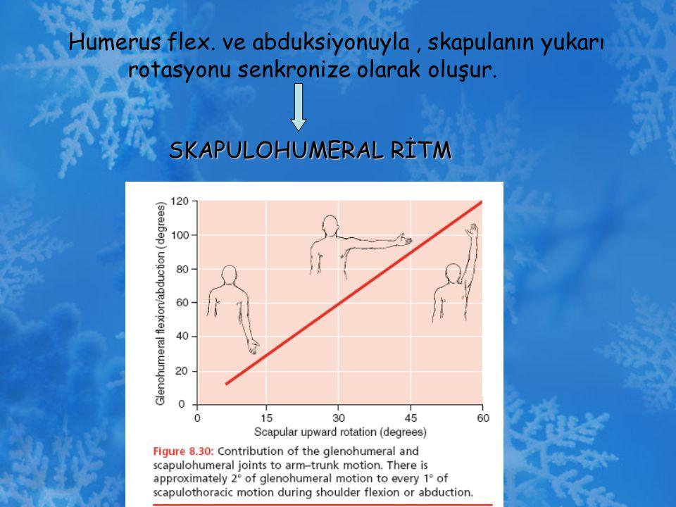 Humerus flex. ve abduksiyonuyla, skapulanın yukarı rotasyonu senkronize olarak oluşur. SKAPULOHUMERAL RİTM SKAPULOHUMERAL RİTM