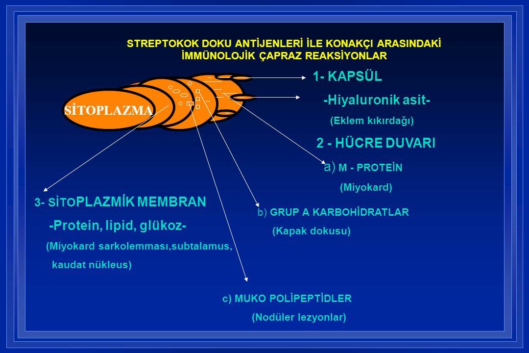 SİTOPLAZMA 1- KAPSÜL -Hiyaluronik asit- (Eklem kıkırdağı) 2 - HÜCRE DUVARI a) M - PROTEİN (Miyokard) b) GRUP A KARBOHİDRATLAR (Kapak dokusu) c) MUKO P