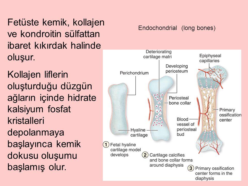 Fetüste kemik, kollajen ve kondroitin sülfattan ibaret kıkırdak halinde oluşur.