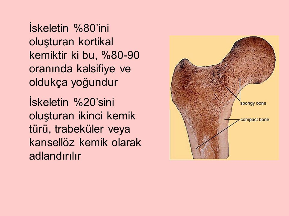 İskeletin %80'ini oluşturan kortikal kemiktir ki bu, %80-90 oranında kalsifiye ve oldukça yoğundur İskeletin %20'sini oluşturan ikinci kemik türü, trabeküler veya kansellöz kemik olarak adlandırılır