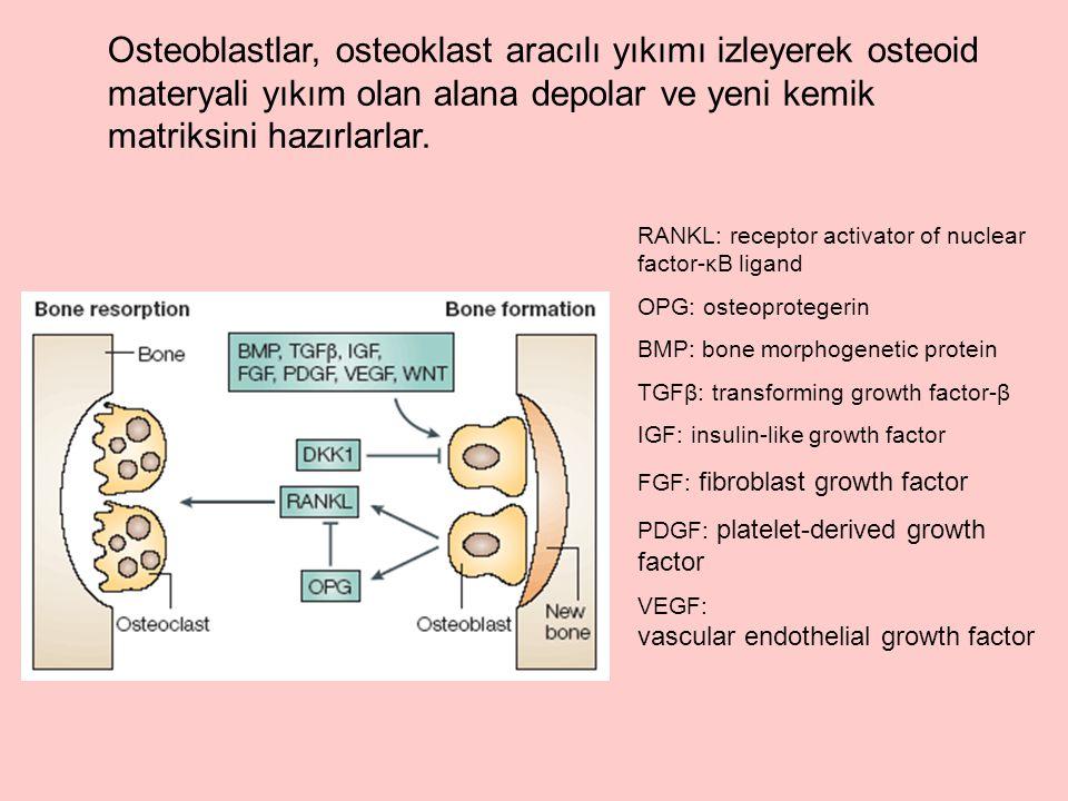 Osteoblastlar, osteoklast aracılı yıkımı izleyerek osteoid materyali yıkım olan alana depolar ve yeni kemik matriksini hazırlarlar.
