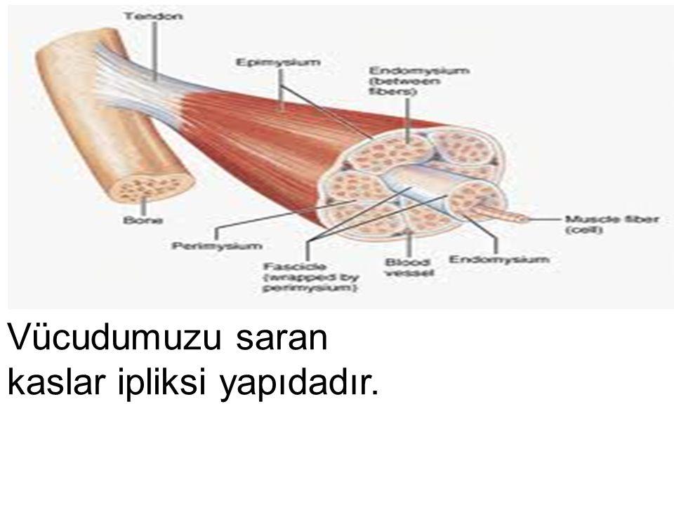 İskeleti sararak vücuda asıl şeklini veren etlere kas denir.