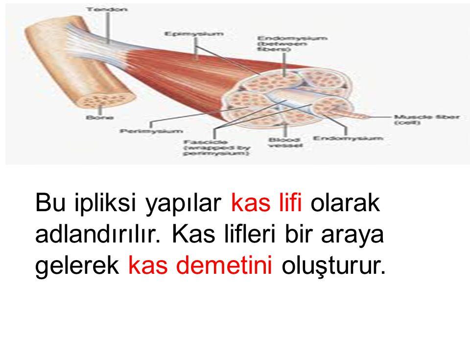 Vücudumuzu saran kaslar ipliksi yapıdadır.