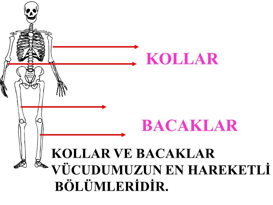 Omurga : Omurga; omur adı verilen kemiklerin üst üste dizilmesinden meydana gelir.