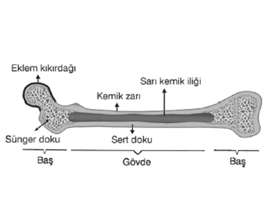 Kemik Çeşitleri Kemikler üç grupta incelenir. Uzun, kısa ve yassı kemikler. Uzun Kemik: Kol ve bacaklarda bulunan kemiklerdir.
