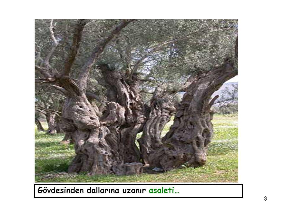 3 Gövdesinden dallarına uzanır asaleti…
