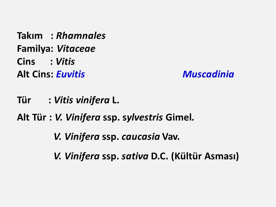 Takım : Rhamnales Familya: Vitaceae Cins : Vitis Alt Cins: Euvitis Muscadinia Tür : Vitis vinifera L.