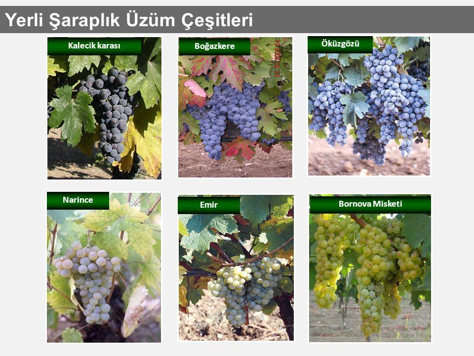 Kalecik karası Öküzgözü Boğazkere Narince Emir Bornova Misketi Yerli Şaraplık Üzüm Çeşitleri