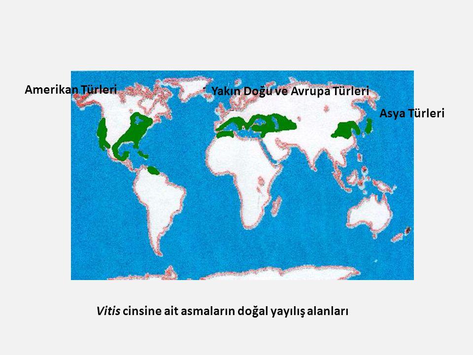 Vitis cinsine ait asmaların doğal yayılış alanları Yakın Doğu ve Avrupa Türleri Asya Türleri Amerikan Türleri