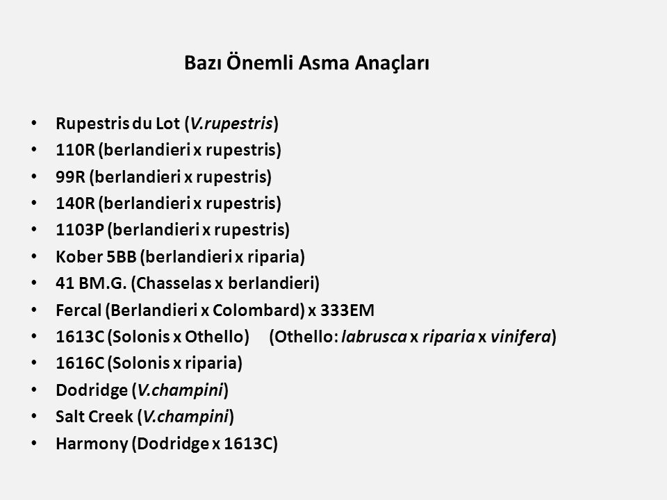 Bazı Önemli Asma Anaçları Rupestris du Lot (V.rupestris) 110R (berlandieri x rupestris) 99R (berlandieri x rupestris) 140R (berlandieri x rupestris) 1103P (berlandieri x rupestris) Kober 5BB (berlandieri x riparia) 41 BM.G.