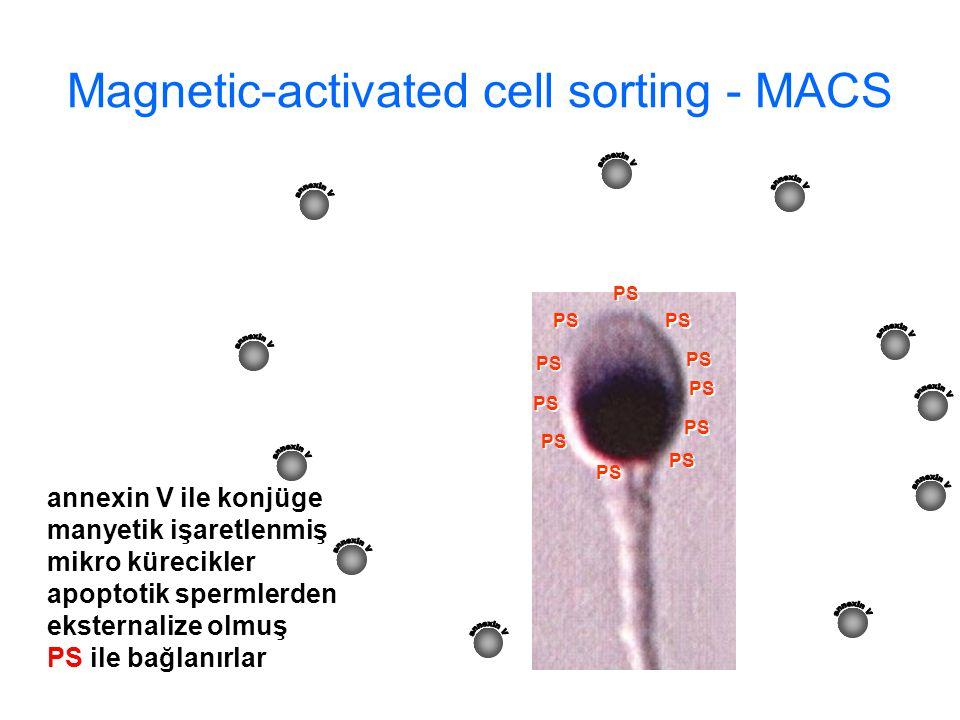 PS Magnetic-activated cell sorting - MACS annexin V ile konjüge manyetik işaretlenmiş mikro kürecikler apoptotik spermlerden eksternalize olmuş PS ile bağlanırlar