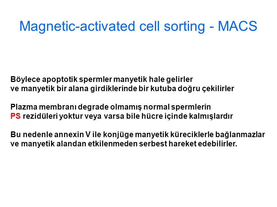 Magnetic-activated cell sorting - MACS Böylece apoptotik spermler manyetik hale gelirler ve manyetik bir alana girdiklerinde bir kutuba doğru çekilirler Plazma membranı degrade olmamış normal spermlerin PS rezidüleri yoktur veya varsa bile hücre içinde kalmışlardır Bu nedenle annexin V ile konjüge manyetik küreciklerle bağlanmazlar ve manyetik alandan etkilenmeden serbest hareket edebilirler.