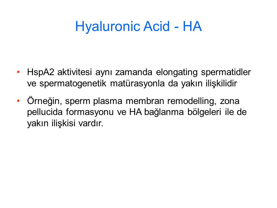 Hyaluronic Acid - HA HspA2 aktivitesi aynı zamanda elongating spermatidler ve spermatogenetik matürasyonla da yakın ilişkilidir Örneğin, sperm plasma membran remodelling, zona pellucida formasyonu ve HA bağlanma bölgeleri ile de yakın ilişkisi vardır.