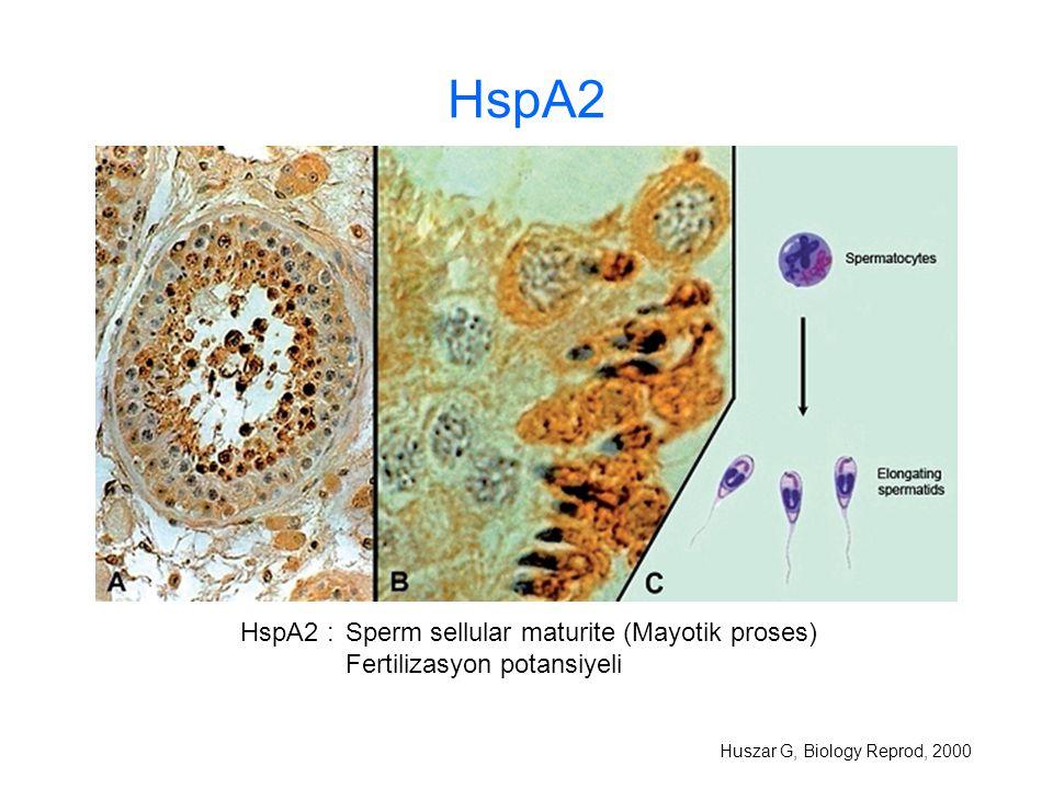 HspA2 Huszar G, Biology Reprod, 2000 HspA2 :Sperm sellular maturite (Mayotik proses) Fertilizasyon potansiyeli