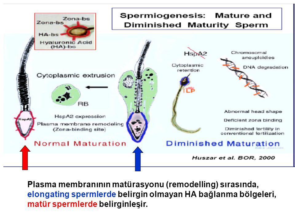Plasma membranının matürasyonu (remodelling) sırasında, elongating spermlerde belirgin olmayan HA bağlanma bölgeleri, matür spermlerde belirginleşir.