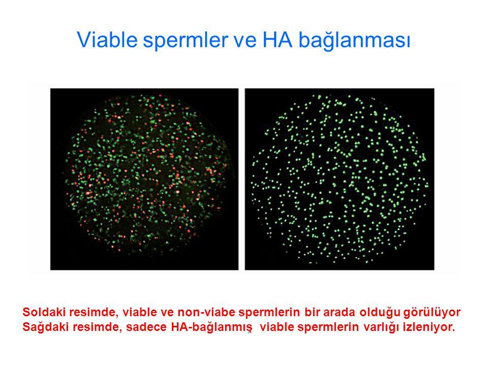 Viable spermler ve HA bağlanması Soldaki resimde, viable ve non-viabe spermlerin bir arada olduğu görülüyor Sağdaki resimde, sadece HA-bağlanmış viable spermlerin varlığı izleniyor.