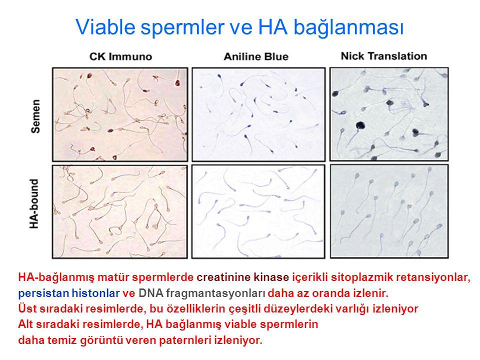 Viable spermler ve HA bağlanması HA-bağlanmış matür spermlerde creatinine kinase içerikli sitoplazmik retansiyonlar, persistan histonlar ve DNA fragmantasyonları daha az oranda izlenir.