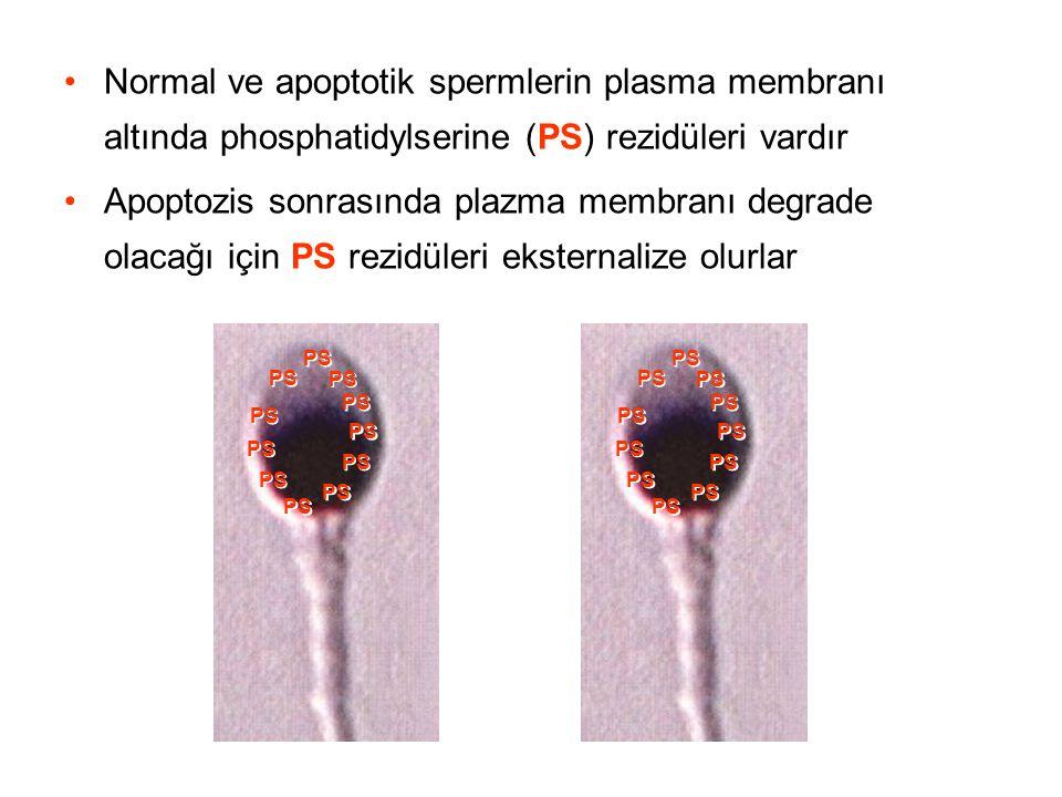 Normal ve apoptotik spermlerin plasma membranı altında phosphatidylserine (PS) rezidüleri vardır Apoptozis sonrasında plazma membranı degrade olacağı için PS rezidüleri eksternalize olurlar PS