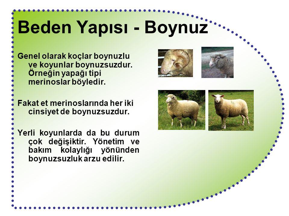 Beden Yapısı - Boynuz Genel olarak koçlar boynuzlu ve koyunlar boynuzsuzdur. Örneğin yapağı tipi merinoslar böyledir. Fakat et merinoslarında her iki