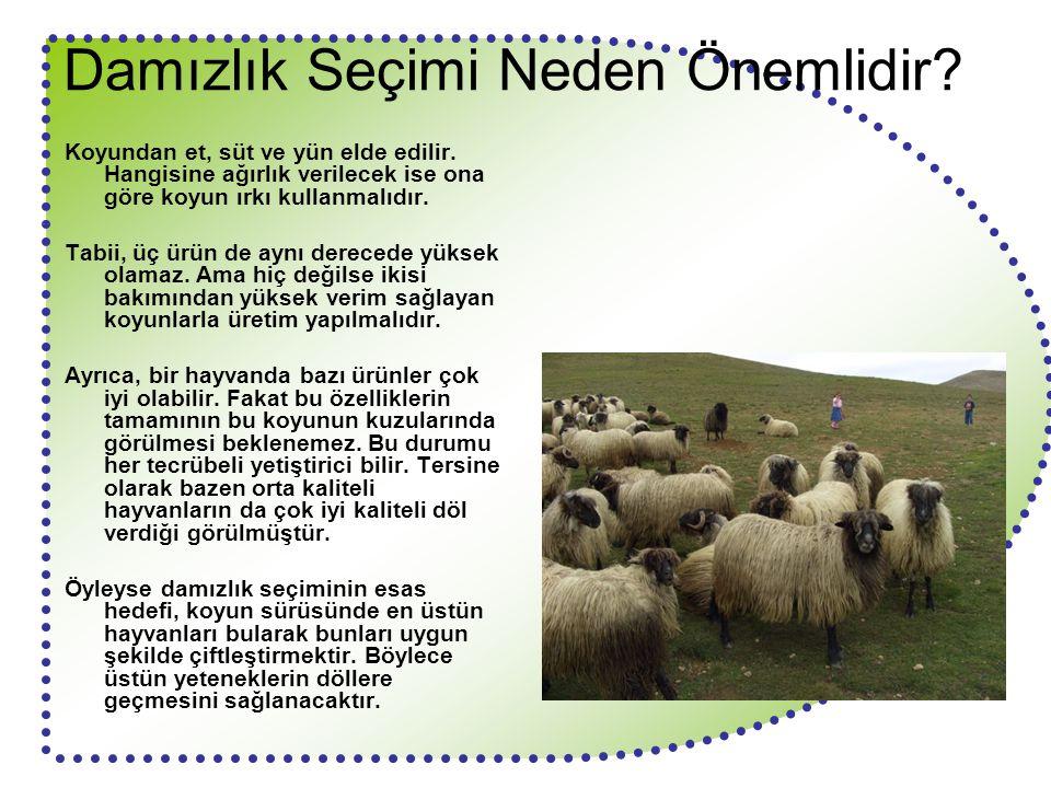 Damızlık Seçimi Neden Önemlidir? Koyundan et, süt ve yün elde edilir. Hangisine ağırlık verilecek ise ona göre koyun ırkı kullanmalıdır. Tabii, üç ürü