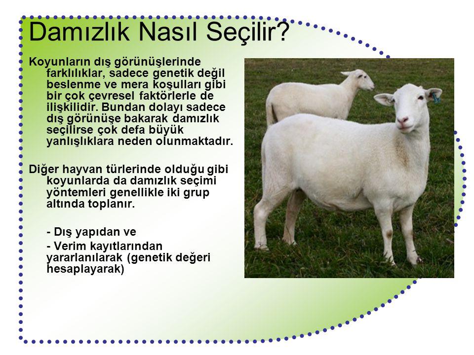 Damızlık Nasıl Seçilir? Koyunların dış görünüşlerinde farklılıklar, sadece genetik değil beslenme ve mera koşulları gibi bir çok çevresel faktörlerle
