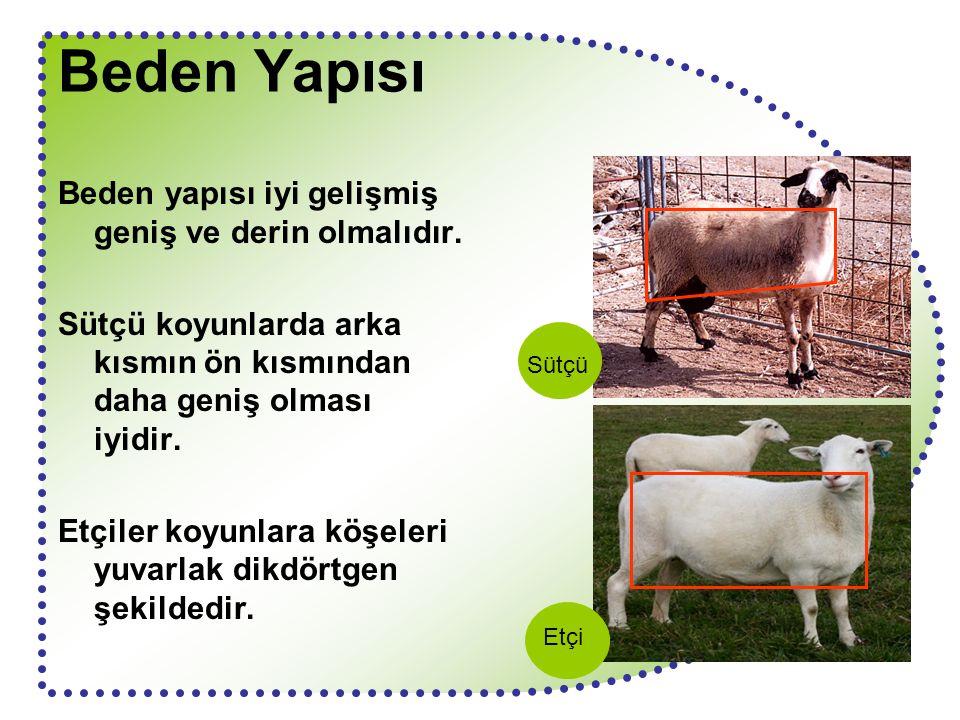 Beden Yapısı Beden yapısı iyi gelişmiş geniş ve derin olmalıdır. Sütçü koyunlarda arka kısmın ön kısmından daha geniş olması iyidir. Etçiler koyunlara