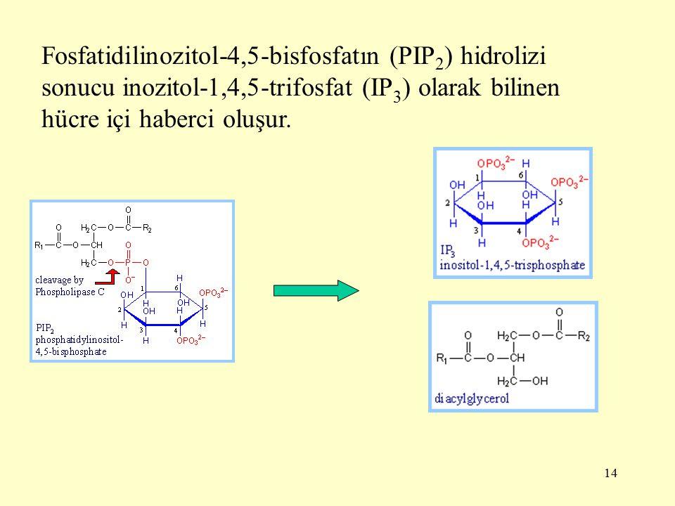 14 Fosfatidilinozitol-4,5-bisfosfatın (PIP 2 ) hidrolizi sonucu inozitol-1,4,5-trifosfat (IP 3 ) olarak bilinen hücre içi haberci oluşur.