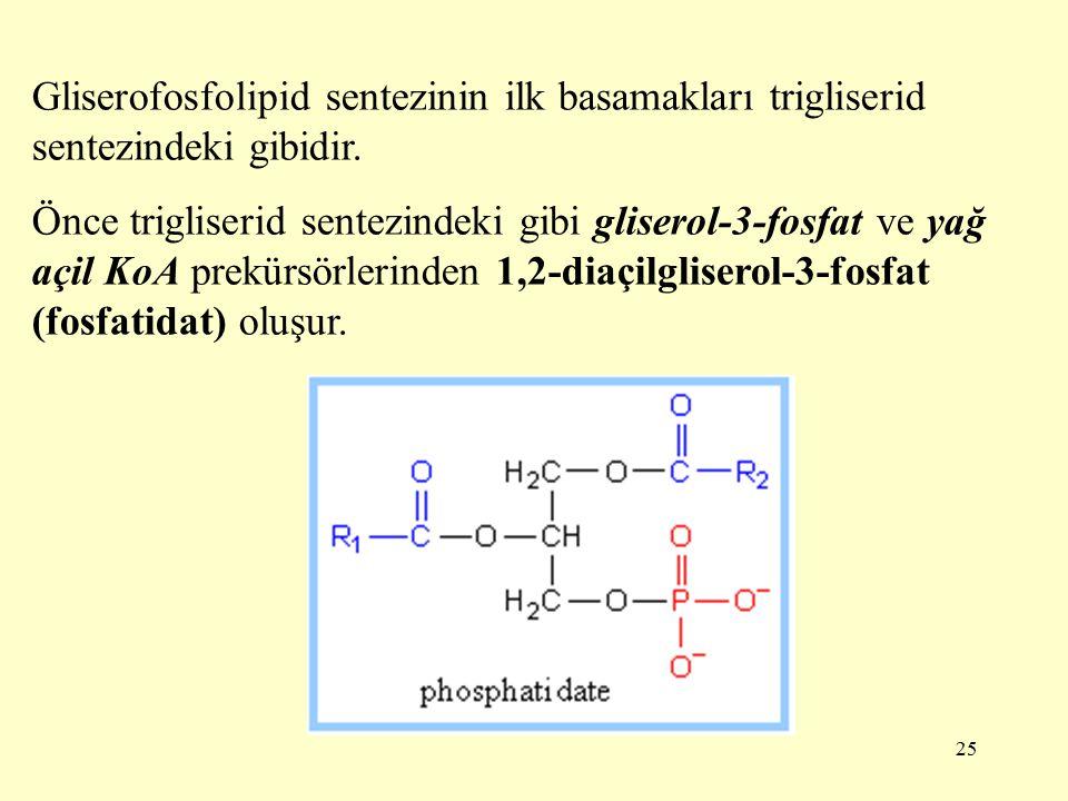 25 Gliserofosfolipid sentezinin ilk basamakları trigliserid sentezindeki gibidir.