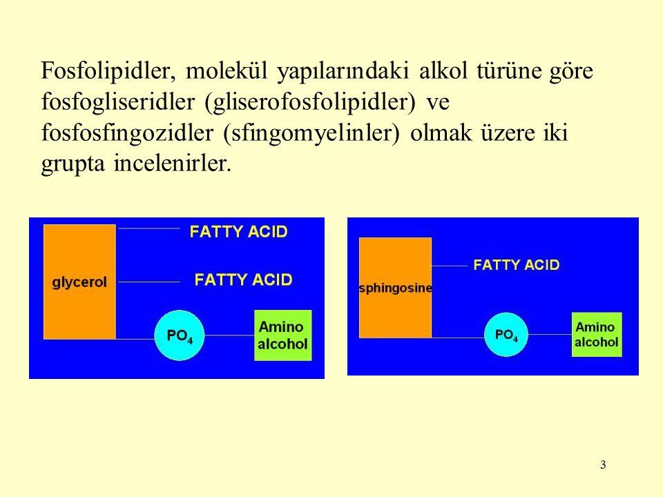 24 Gliserofosfolipid sentezi Gliserofosfolipidlerin yapısında gliserolün iki karbonuna iki yağ asidi ve 3.karbona baş grup diye isimlendirilen bir farklı grup bağlanmıştır.