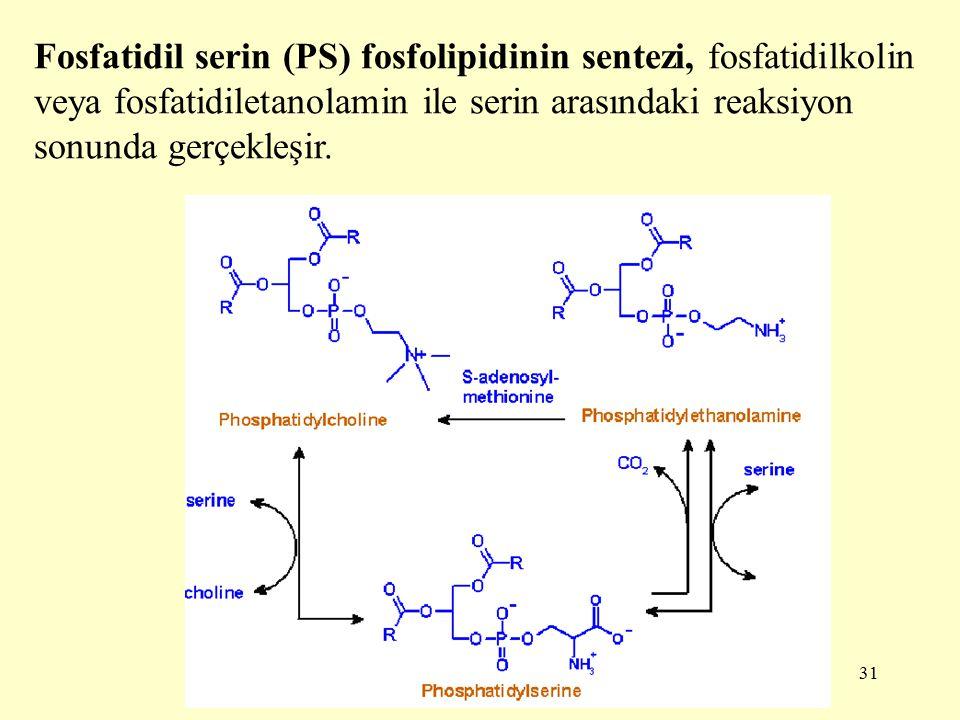 31 Fosfatidil serin (PS) fosfolipidinin sentezi, fosfatidilkolin veya fosfatidiletanolamin ile serin arasındaki reaksiyon sonunda gerçekleşir.