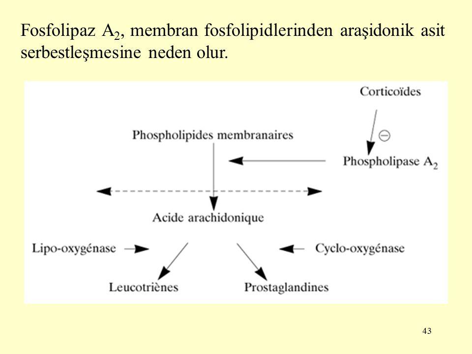 43 Fosfolipaz A 2, membran fosfolipidlerinden araşidonik asit serbestleşmesine neden olur.