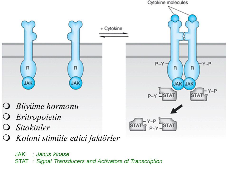  Büyüme hormonu  Eritropoietin  Sitokinler  Koloni stimüle edici faktörler JAK: Janus kinase STAT: Signal Transducers and Activators of Transcript