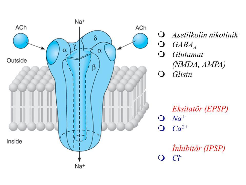  Asetilkolin nikotinik  GABA A  Glutamat (NMDA, AMPA)  Glisin Eksitatör (EPSP)  Na +  Ca 2+ İnhibitör (IPSP)  Cl -
