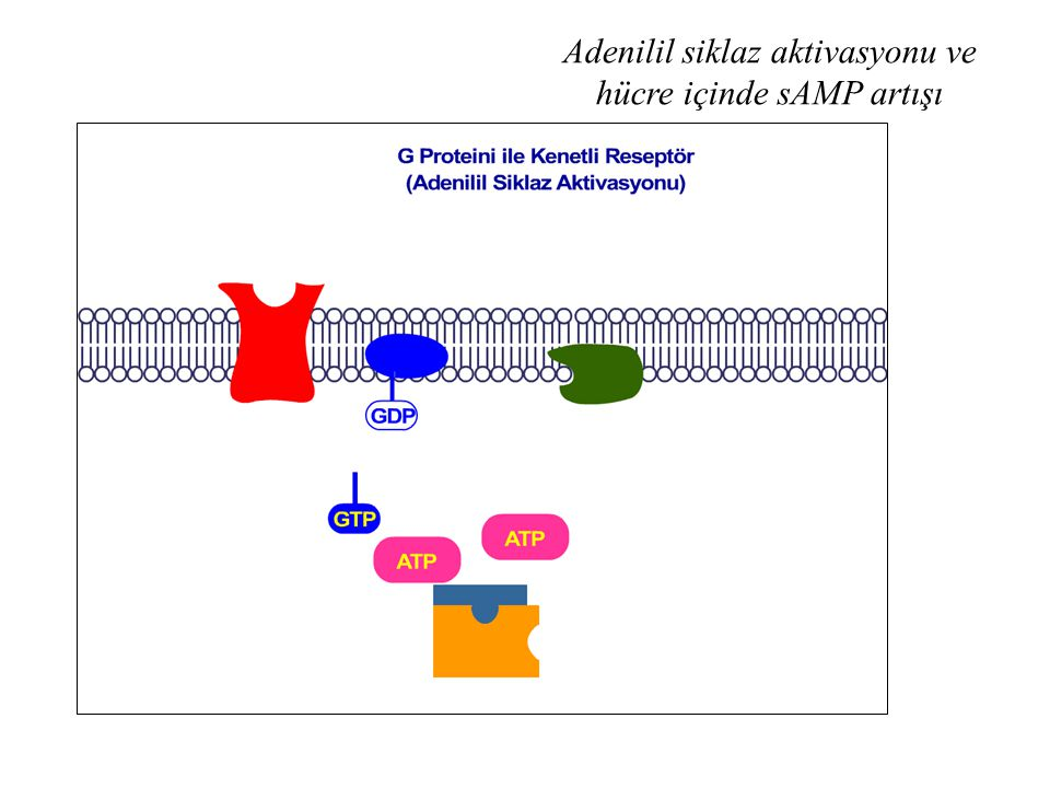 Adenilil siklaz aktivasyonu ve hücre içinde sAMP artışı