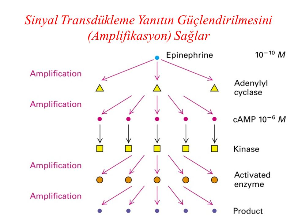 Sinyal Transdükleme Yanıtın Güçlendirilmesini (Amplifikasyon) Sağlar