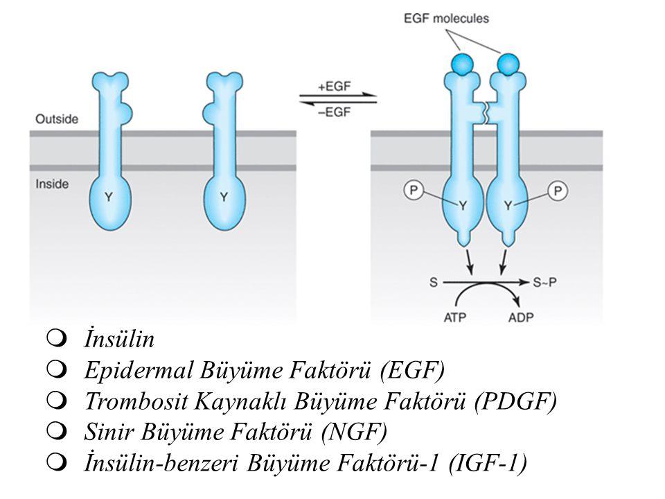  İnsülin  Epidermal Büyüme Faktörü (EGF)  Trombosit Kaynaklı Büyüme Faktörü (PDGF)  Sinir Büyüme Faktörü (NGF)  İnsülin-benzeri Büyüme Faktörü-1