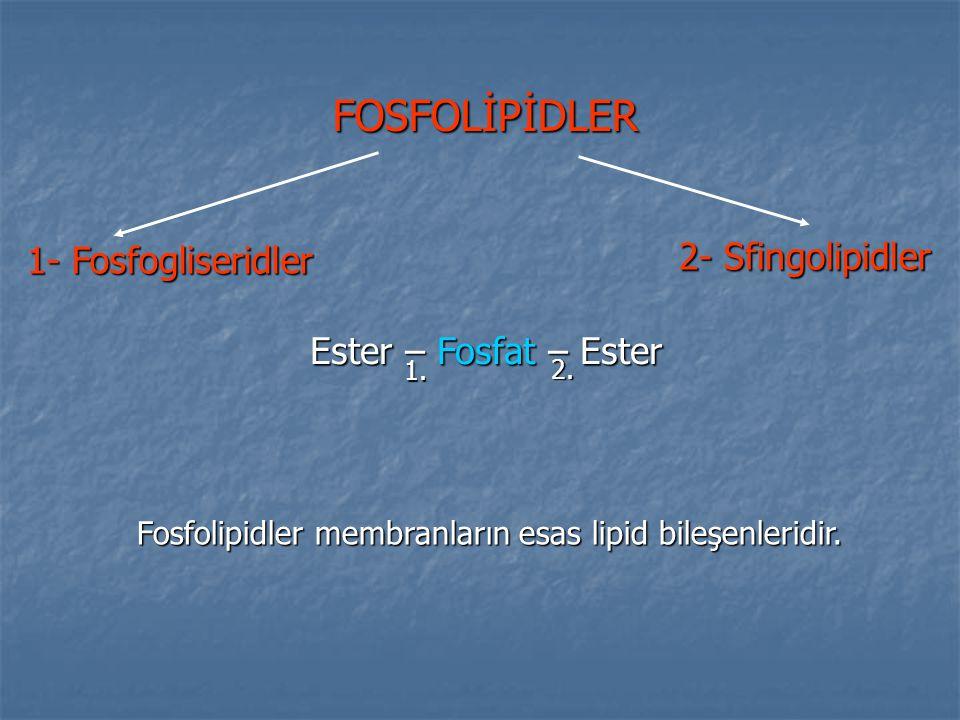 FOSFOLİPİDLER 1- Fosfogliseridler 2- Sfingolipidler Ester – Fosfat – Ester 1. 2. Fosfolipidler membranların esas lipid bileşenleridir.
