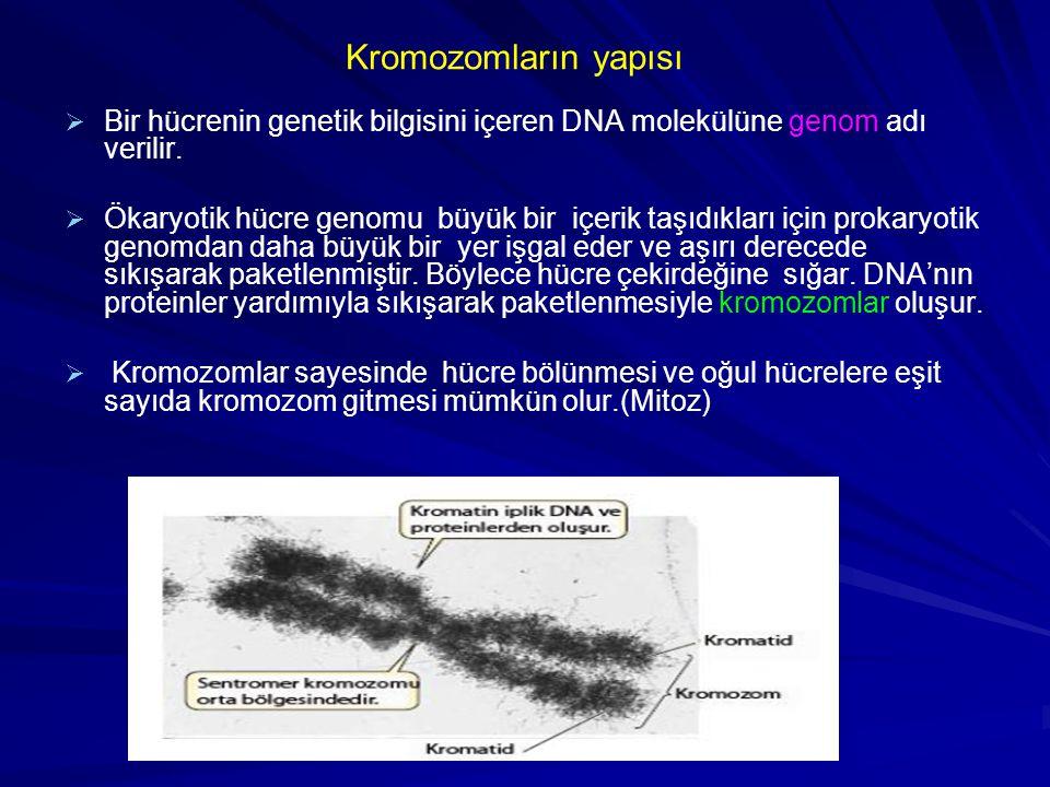 Kromozomların yapısı   Bir hücrenin genetik bilgisini içeren DNA molekülüne genom adı verilir.