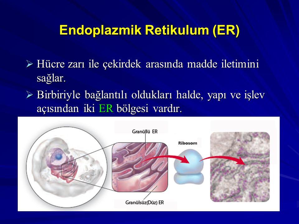 Endoplazmik Retikulum (ER)  Hücre zarı ile çekirdek arasında madde iletimini sağlar.