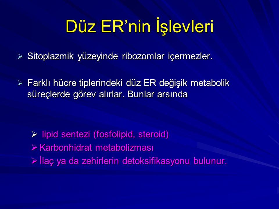 Granüllü ER'nin işlevleri  Sitoplazmik yüzeyinde ribozomlar bulundurur.