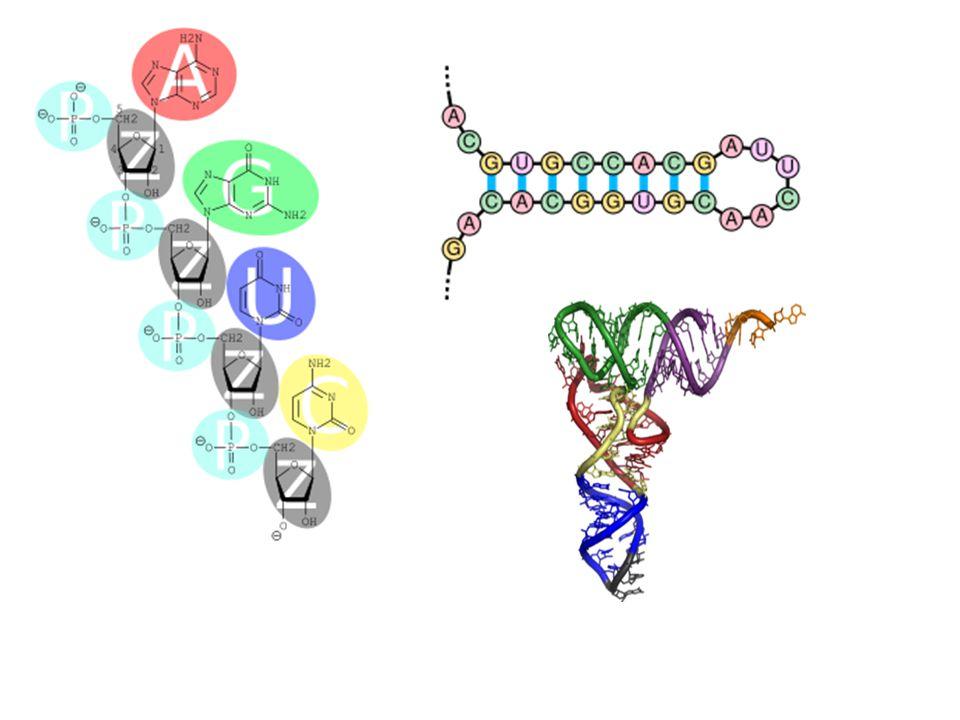RNA molekülleri ilk sentezlendiklerinde bu dört temel bazdan oluşmalarına rağmen bazı RNA türleri sonradan enzimler tarafından modifikasyona uğrarlar ve başka tür bazlar da içerebilirler.