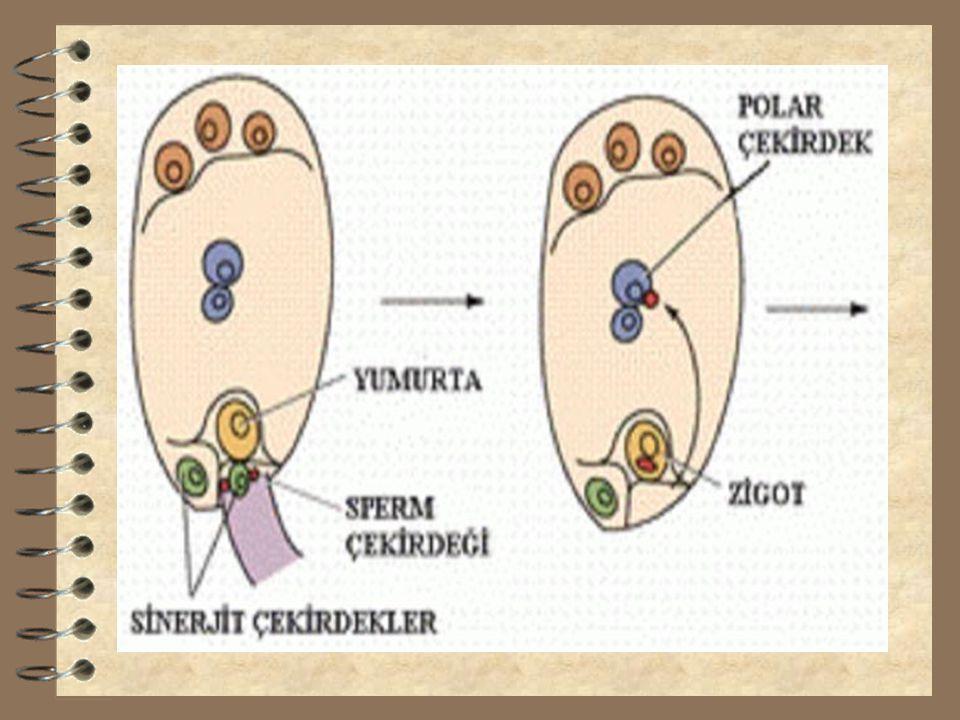 3.Döllenme 3 Polen içerisinde haploid (n) kromozomlu iki çekirdek bulunur. Bunlardan birisi dişi organ tepeciğinden yumurtalıktaki yumurtaya kadar tüp