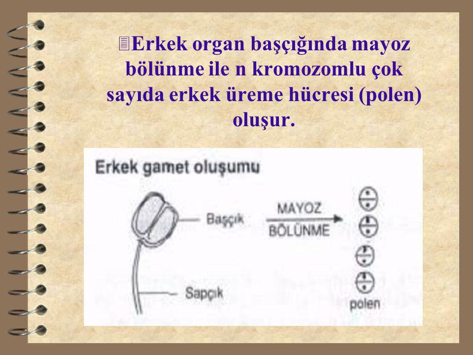 3 Erkek organ başçığında mayoz bölünme ile n kromozomlu çok sayıda erkek üreme hücresi (polen) oluşur.