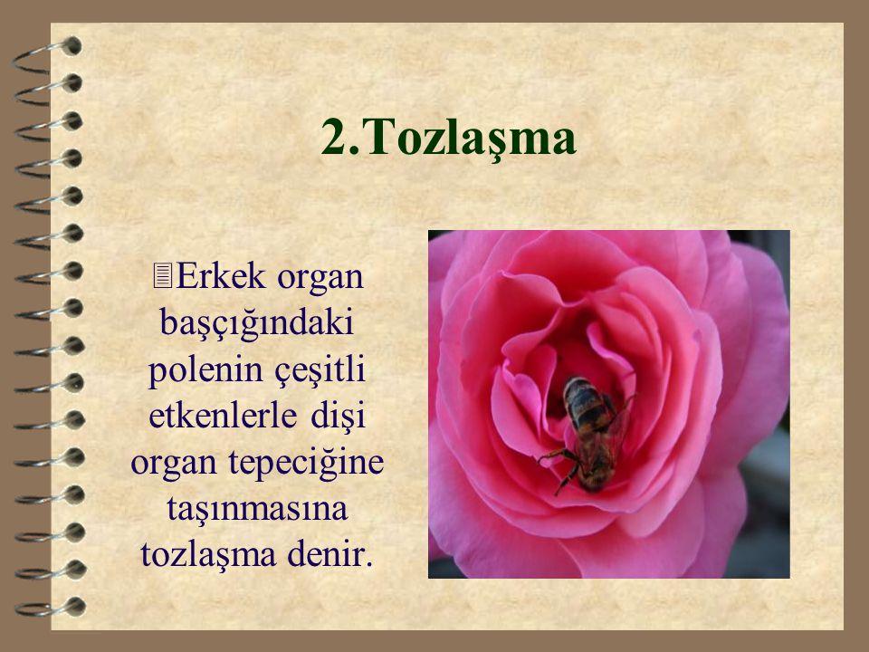 2.Tozlaşma 3 Erkek organ başçığındaki polenin çeşitli etkenlerle dişi organ tepeciğine taşınmasına tozlaşma denir.