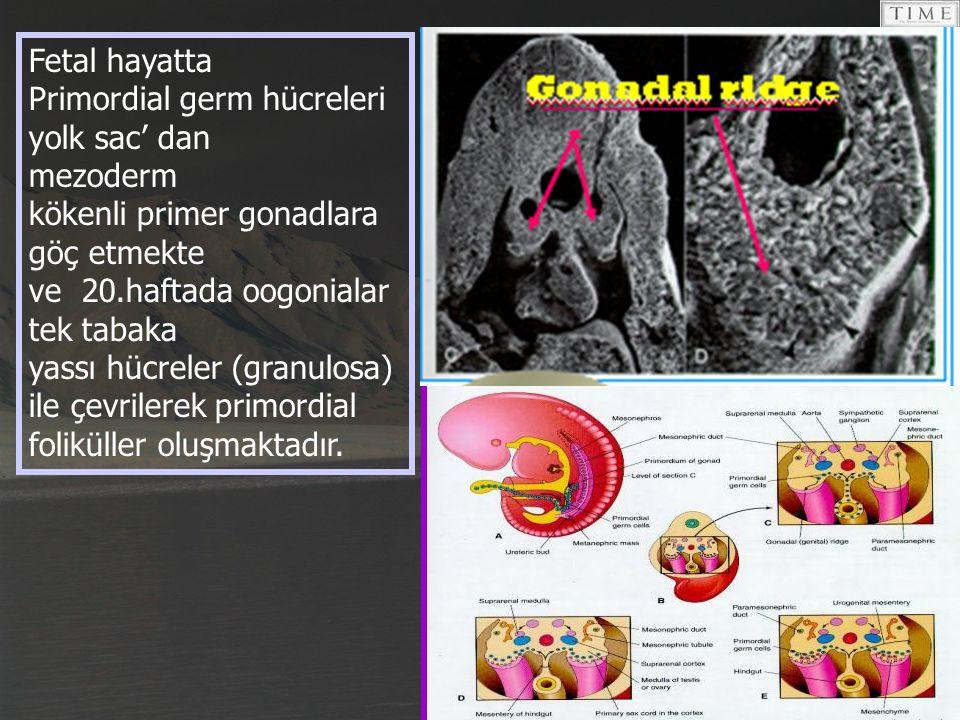 Primordial folikül, mayotik bölünmenin diploten fazında duraklamış primer oosit ve onu çevreleyen tek katlı granüloza hücrelerinden oluşur.