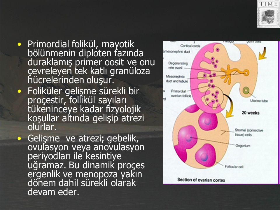 Primordial folikül, mayotik bölünmenin diploten fazında duraklamış primer oosit ve onu çevreleyen tek katlı granüloza hücrelerinden oluşur. Foliküler