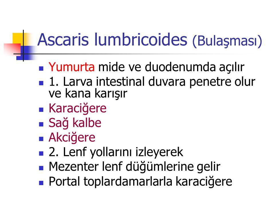 Ascaris lumbricoides (Bulaşması) Yumurta mide ve duodenumda açılır 1. Larva intestinal duvara penetre olur ve kana karışır Karaciğere Sağ kalbe Akciğe