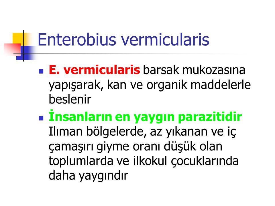 E. vermicularis barsak mukozasına yapışarak, kan ve organik maddelerle beslenir İnsanların en yaygın parazitidir Ilıman bölgelerde, az yıkanan ve iç ç